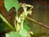 Gespensterschrecke